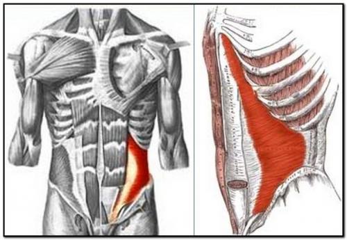 поперечная мышца живота спереди и сбоку