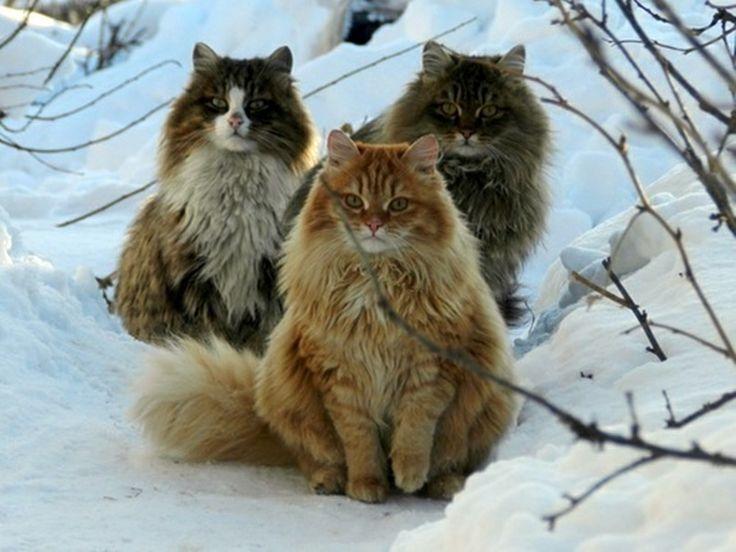 Норвежский кот
