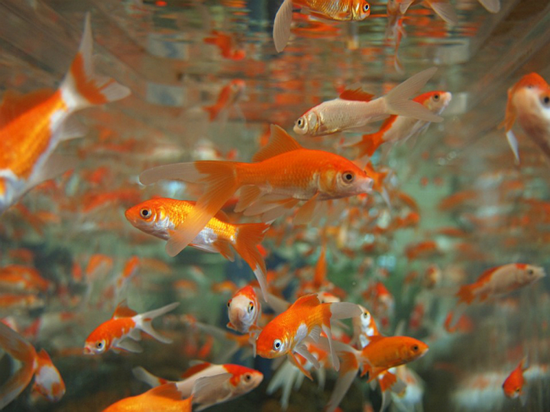 Рыбки аквариумные
