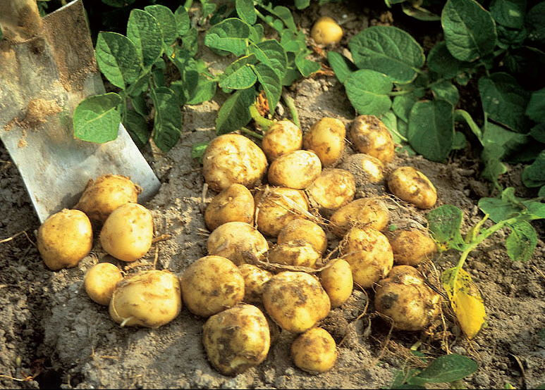 Французский картофельLa Bonnotte
