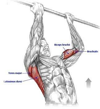 Мышцы, работающие при подтягивании на турнике