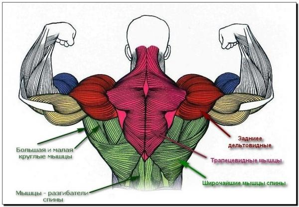 мышц верхней части спины.