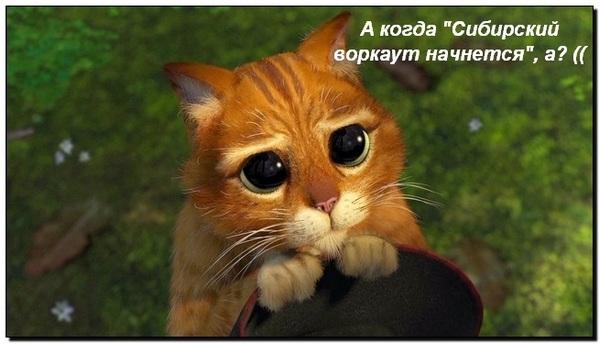 кот сибирский воркаут