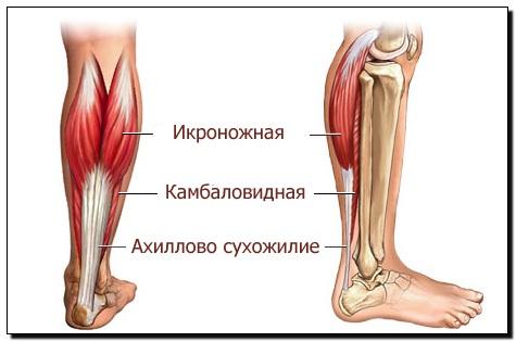 мышцы голени рисунок