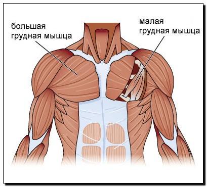 Основной мышцей груди является