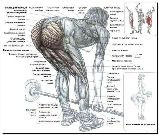 Мышцы ягодичные фото