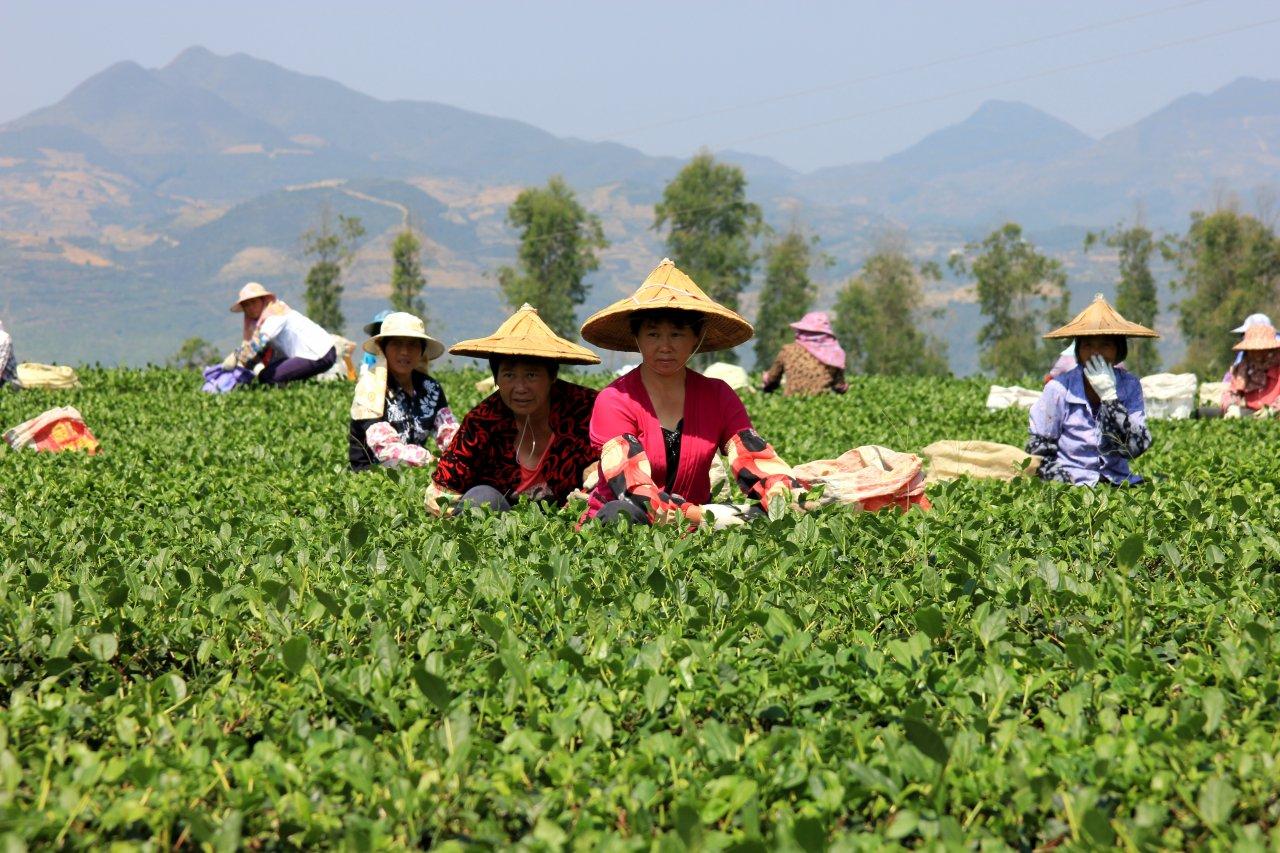 Сбор чая на плантации. Китай.