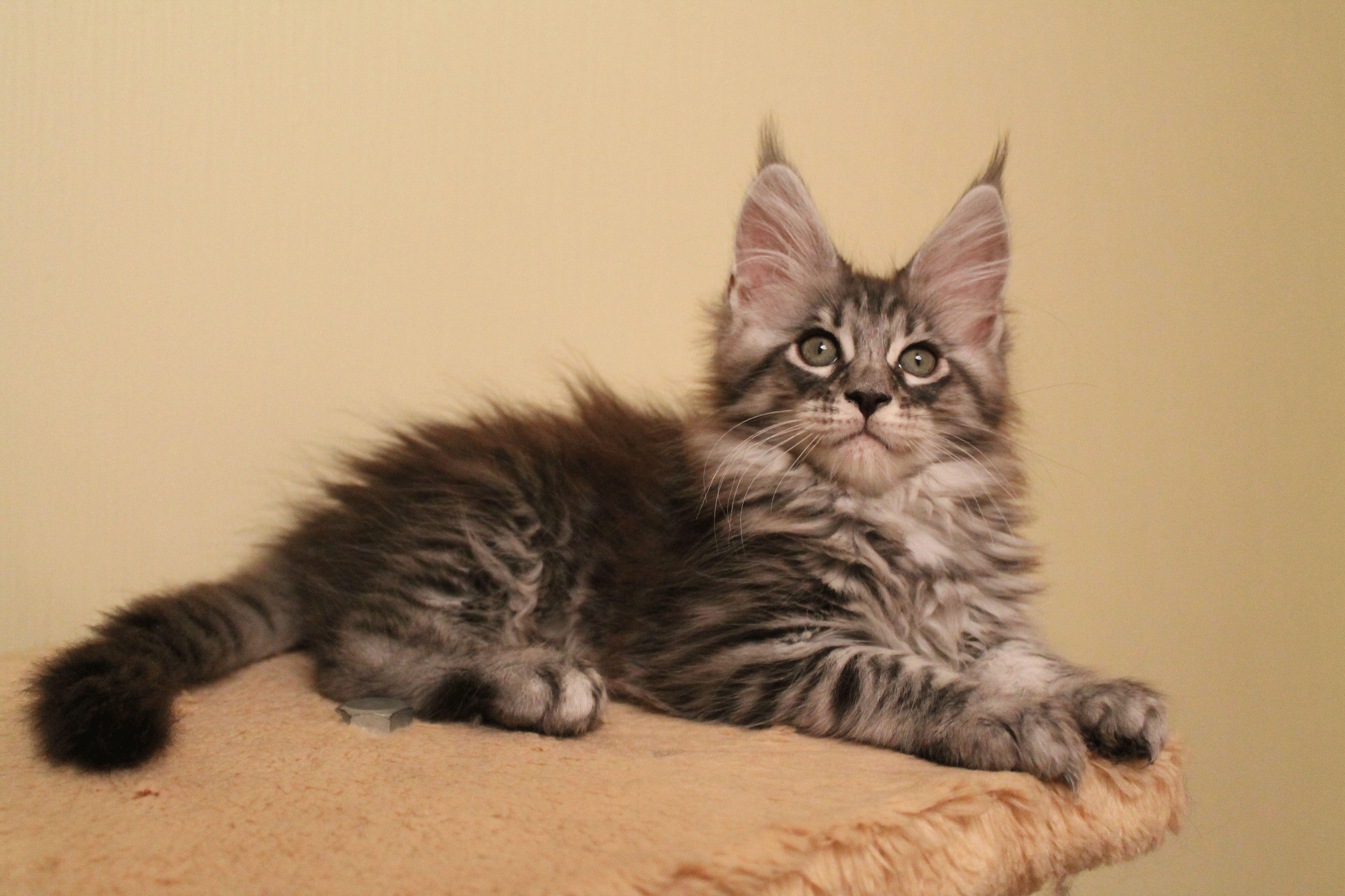 10 дорогих пород кошек