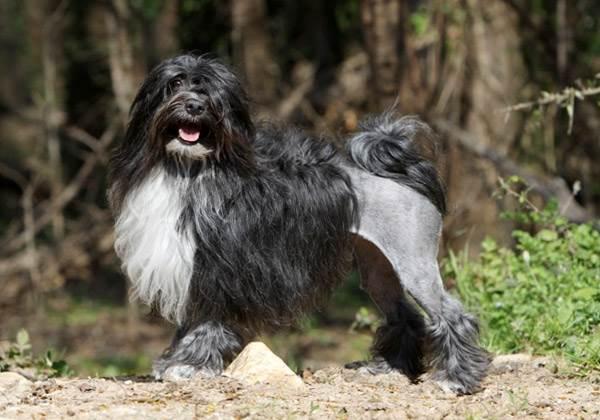 Собака лион бишон