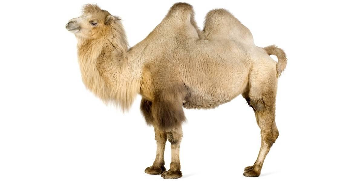 Верблюд обычный