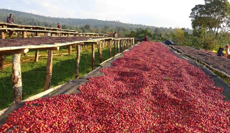 Кофейные ягоды напоминают вишню