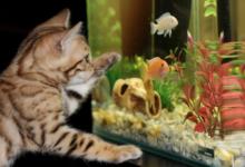 Кошка возле аквариума с рыбками