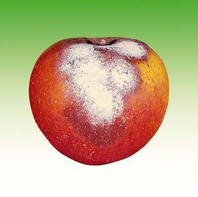 Яблоко с плесенюью