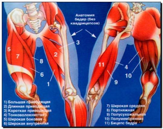 приводящие мышцы бедра