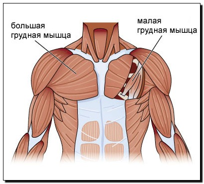 мышцы груди схема