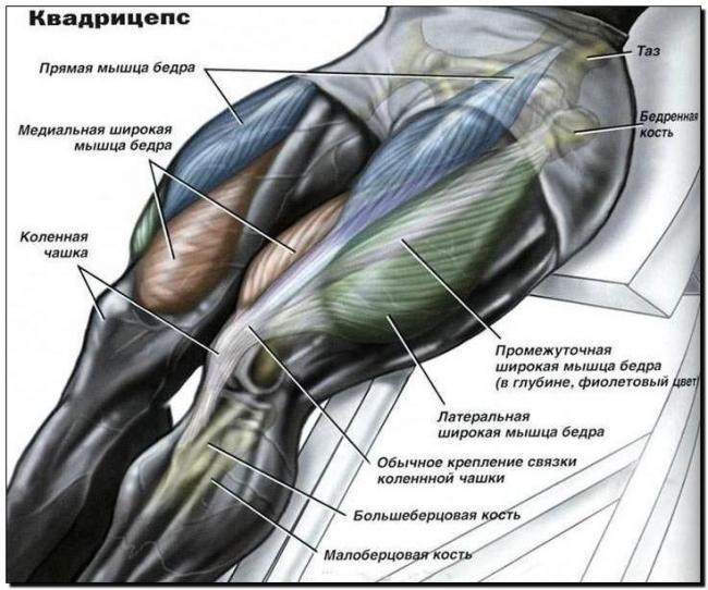 передняя поверхность бедра мышцы